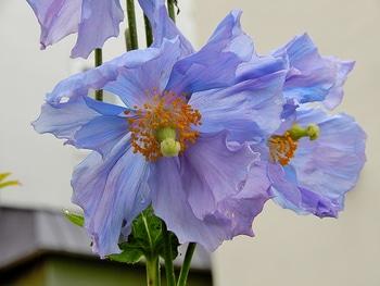 青いケシ(ベトニキフォリア)の花を楽しもう(^-^)ノ🌼地植えー幾つ咲くかな♪  2つ同時に開花🌼(5.6番花)