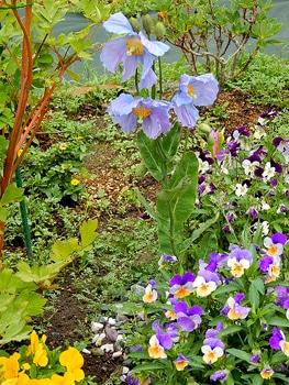 青いケシ(ベトニキフォリア)の花を楽しもう(^-^)ノ🌼地植えー幾つ咲くかな♪  4・5・6番花~全体の様子🌼☂