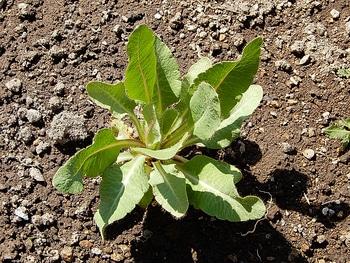 青いケシ(ベトニキフォリア)の花を楽しもう(^-^)ノ🌼地植えー幾つ咲くかな♪  2019・4・28小苗植えました🌼