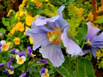 青いケシ(ベトニキフォリア)の花を楽しもう(^-^)ノ🌼地植えー幾つ咲くかな♪  7番花が咲きました~🌼