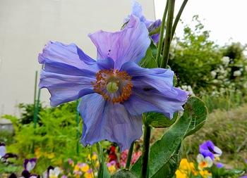 青いケシ(ベトニキフォリア)の花を楽しもう(^-^)ノ🌼地植えー幾つ咲くかな♪  8番花が咲きました~🌼
