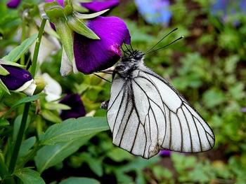 青いケシ(ベトニキフォリア)の花を楽しもう(^-^)ノ🌼地植えー幾つ咲くかな♪ 青いケシのおまけ