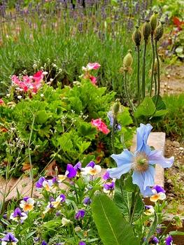 青いケシ(ベトニキフォリア)の花を楽しもう(^-^)ノ🌼地植えー幾つ咲くかな♪ ベトニキフォリアの実(種)