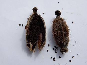 青いケシ(ベトニキフォリア)の花を楽しもう(^-^)ノ🌼地植えー幾つ咲くかな♪ ベトニキフォリアの種の採取➀殻から種を