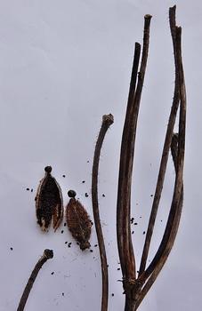 青いケシ(ベトニキフォリア)の花を楽しもう(^-^)ノ🌼地植えー幾つ咲くかな♪ ベトニキフォリアの最後の姿🌼