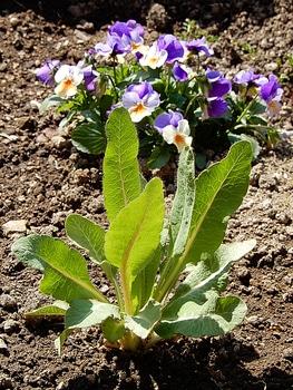 青いケシ(ベトニキフォリア)の花を楽しもう(^-^)ノ🌼地植えー幾つ咲くかな♪ ベトニキフォリア横からの姿