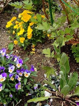 青いケシ(ベトニキフォリア)の花を楽しもう(^-^)ノ🌼地植えー幾つ咲くかな♪ 花茎が立ち上がり膨らんだ蕾