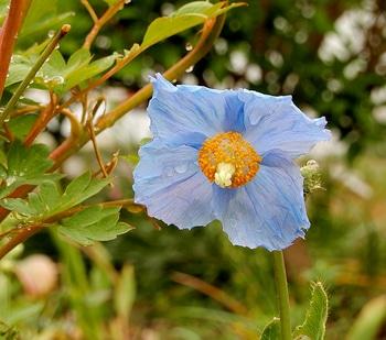 青いケシ(ベトニキフォリア)の花を楽しもう(^-^)ノ🌼地植えー幾つ咲くかな♪  1番花が咲きました~🌼