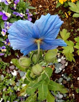 青いケシ(ベトニキフォリア)の花を楽しもう(^-^)ノ🌼地植えー幾つ咲くかな♪  1番花の後ろはだぁれ♪