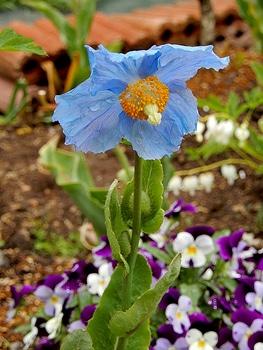 青いケシ(ベトニキフォリア)の花を楽しもう(^-^)ノ🌼地植えー幾つ咲くかな♪  1番花の立ち姿