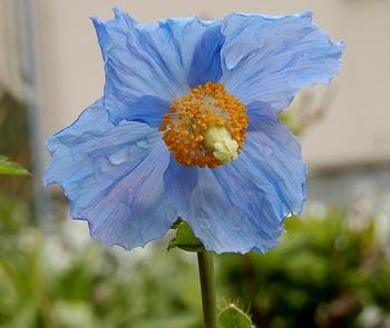 青いケシ(ベトニキフォリア)の花を楽しもう(^-^)ノ🌼地植えー幾つ咲くかな♪