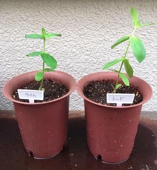 ジニアのオベリスク仕立てに挑戦 栽培開始