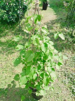 クレマチスの枯れ枝仕立て 開花間近