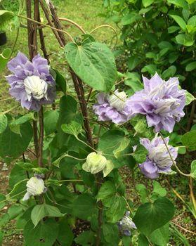クレマチスの枯れ枝仕立て 花のアップ