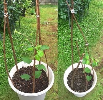 クレマチスの枯れ枝仕立て 鉢増し