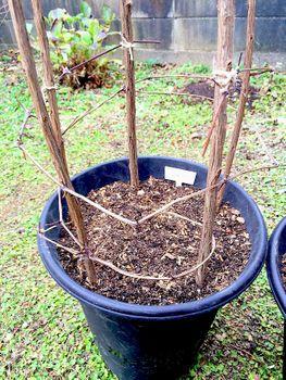 クレマチスの枯れ枝仕立て 植替え
