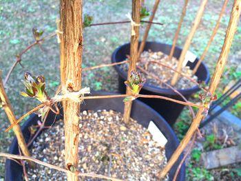 クレマチスの枯れ枝仕立て 芽吹き