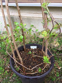 クレマチスの枯れ枝仕立て グングン成長