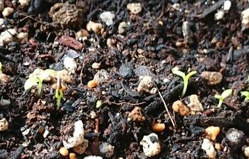 帝王貝細工にリベンジ‼️ 次々発芽🌱
