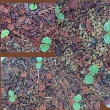 アデニウムアラビカムの種まき 8月4日 アデニウムちゃん達🌱