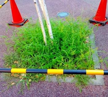 白樺周りにコバランタナの試験植込み  2019/9/11 雑草の中
