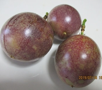 2019-No2 パッションフルーツの成長過程 7/16 3個が室内で紫色に変化。