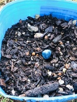 ハロウィーン🎃に素敵なヒマワリを咲かせる🎵 3回目の種蒔き‼︎
