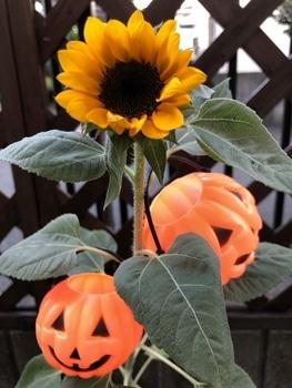 ハロウィーン🎃に素敵なヒマワリを咲かせる🎵 綺麗に開花‼︎