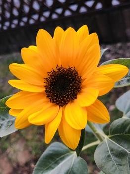 ハロウィーン🎃に素敵なヒマワリを咲かせる🎵 ついに開花‼︎