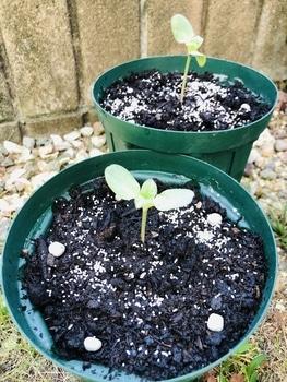 ハロウィーン🎃に素敵なヒマワリを咲かせる🎵 定植‼︎