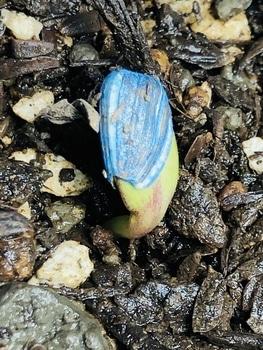 ハロウィーン🎃に素敵なヒマワリを咲かせる🎵 発芽‼︎
