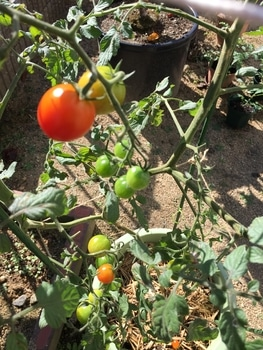 初めての秋トマト🍅〜秋に収穫出来るミニトマト〜 20191010