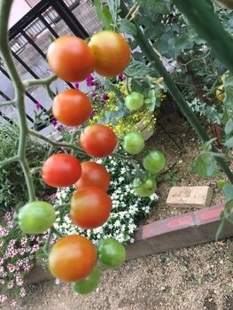 初めての秋トマト🍅〜秋に収穫出来るミニトマト〜 20191012
