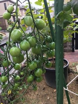 初めての秋トマト🍅〜秋に収穫出来るミニトマト〜 20191025