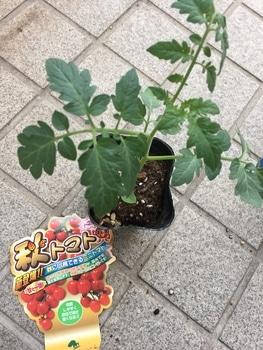 初めての秋トマト🍅〜秋に収穫出来るミニトマト〜