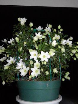 【3】株元から出た(芽)に花は咲くかしら?🚩終了  3月27日お花が咲き始めました☘️