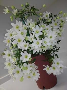 【3】《古枝》から出た芽(蔓)に花は咲くか!