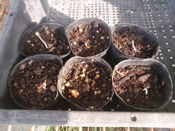 ナスタチウム 2 発芽