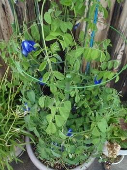 初めての八重咲蝶豆の栽培 初花から20日後の今、絶え間なく花が・・