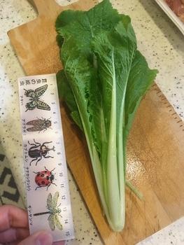 ミニ白菜🥬できるかな? 1123