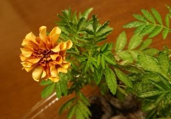 マリーゴールドを冬に咲かせたい♪ 10/8 開花