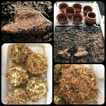 マナハウスのビオトープ♪( ´▽`) 水草を種から育てておきます♪( ´▽`)