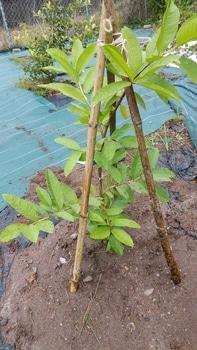 グアバ食べられるかなあ 植えつけ