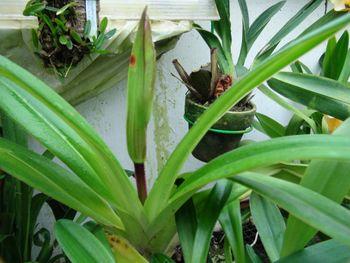 フラグミペディウム コバチーの栽培 蕾がわかるようになりました