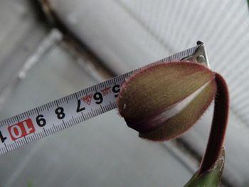 フラグミペディウム コバチーの栽培 もうすぐ咲きそう