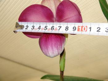 フラグミペディウム コバチーの栽培 やっと咲きました