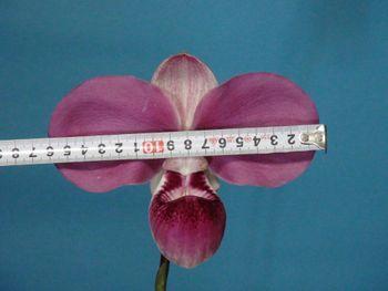 フラグミペディウム コバチーの栽培 花が展開しました