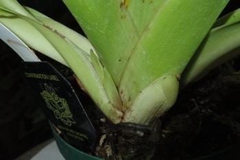 フラグミペディウム コバチーの栽培 植え替え作業