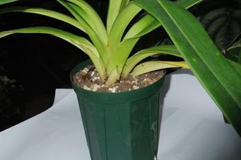 フラグミペディウム コバチーの栽培 植え替え作業3