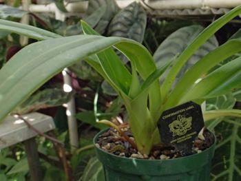 フラグミペディウム コバチーの栽培 新芽が大きくなってきました